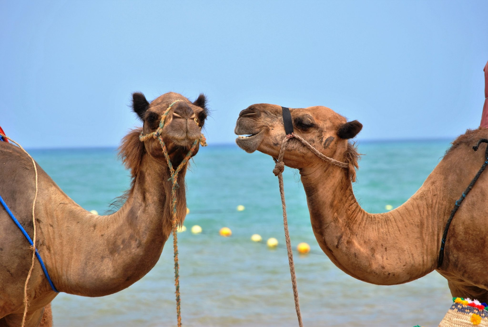 PitchBitch Biggest Communication Problem illustrated with two camels